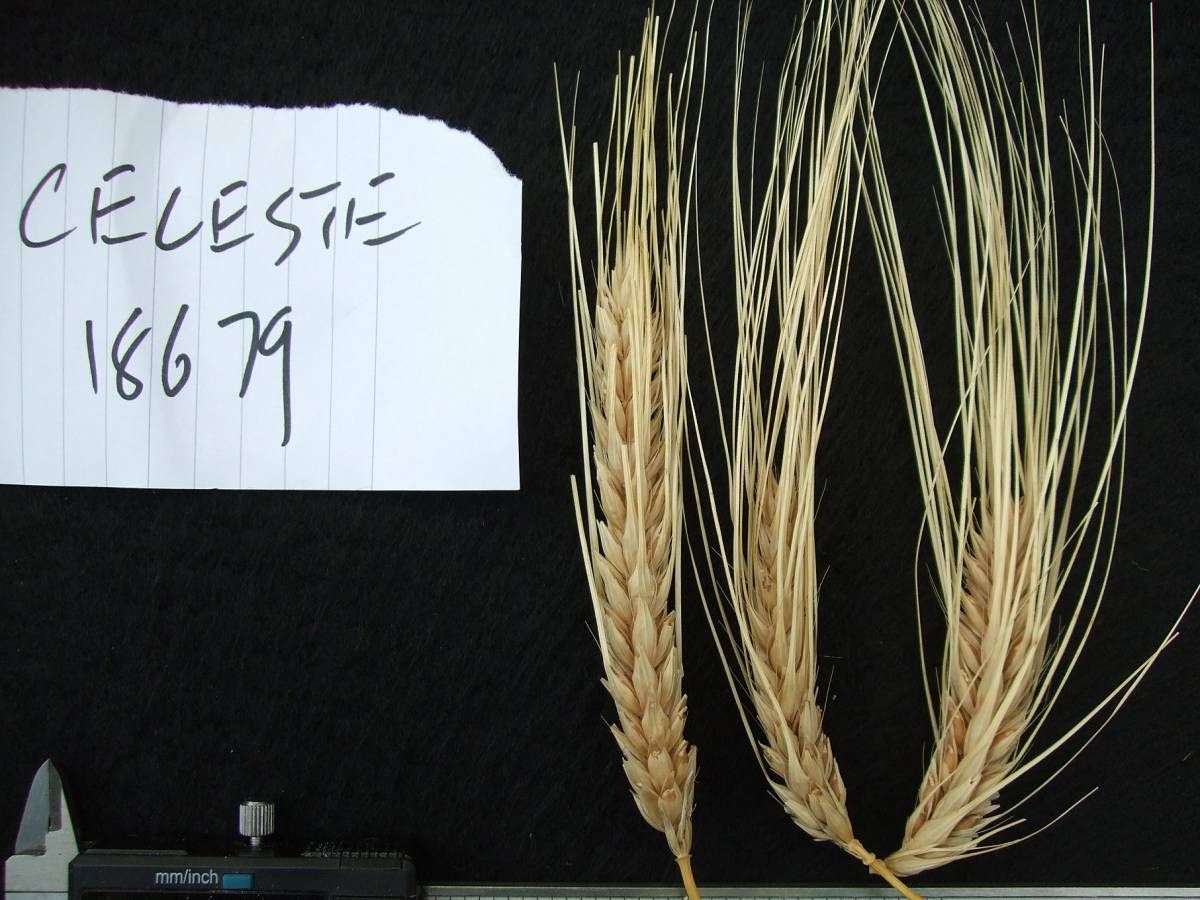 'Celeste' origin French, DE 18679, naked barley 201 - 6:02pm&nbsp;25<sup>th</sup>&nbsp;Sep.&nbsp;'11