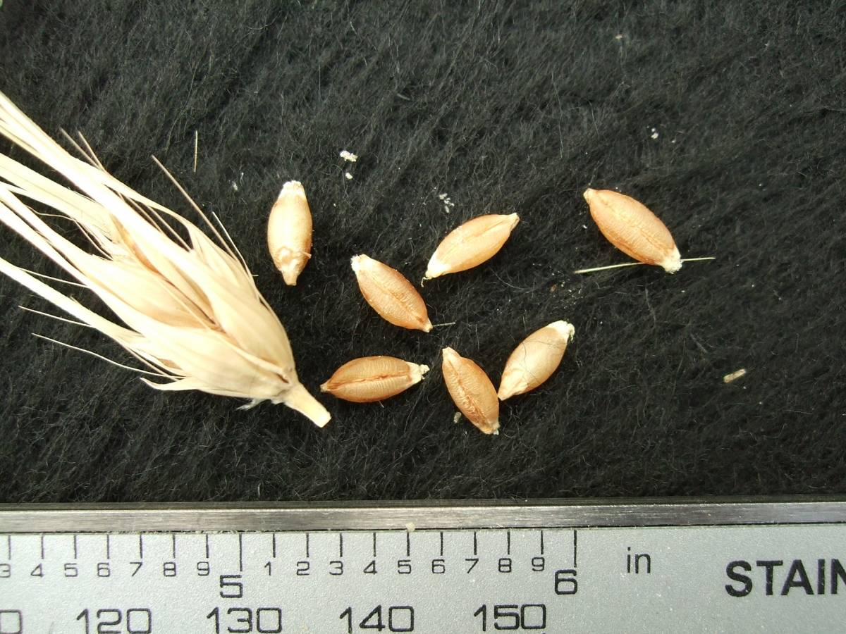 'Celeste' origin French, DE 18679, naked barley 201 - 6:03pm&nbsp;25<sup>th</sup>&nbsp;Sep.&nbsp;'11