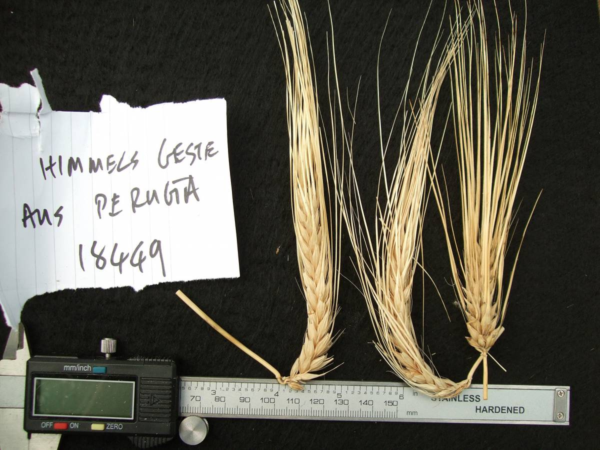 &rsquo;Himmerelgerste aus Perugia&rsquo;, DE 18449,  naked barley 2011 - 6:04pm&nbsp;25<sup>th</sup>&nbsp;Sep.&nbsp;'11