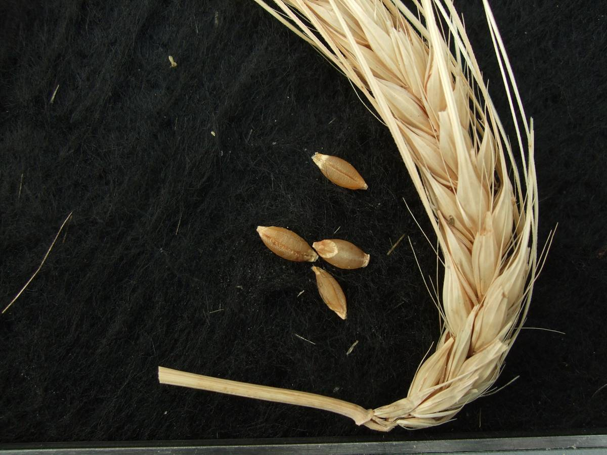 &rsquo;Himmerelgerste aus Perugia&rsquo;, DE 18449,  naked barley 2011 - 6:06pm&nbsp;25<sup>th</sup>&nbsp;Sep.&nbsp;'11