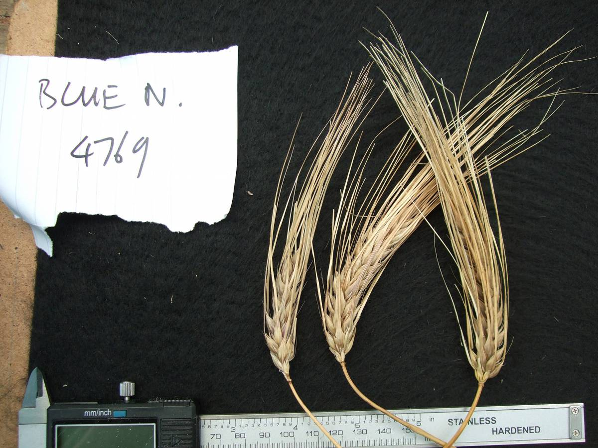 'Blue Naked', DE 4769, naked barley 2011 - 6:08pm&nbsp;25<sup>th</sup>&nbsp;Sep.&nbsp;'11
