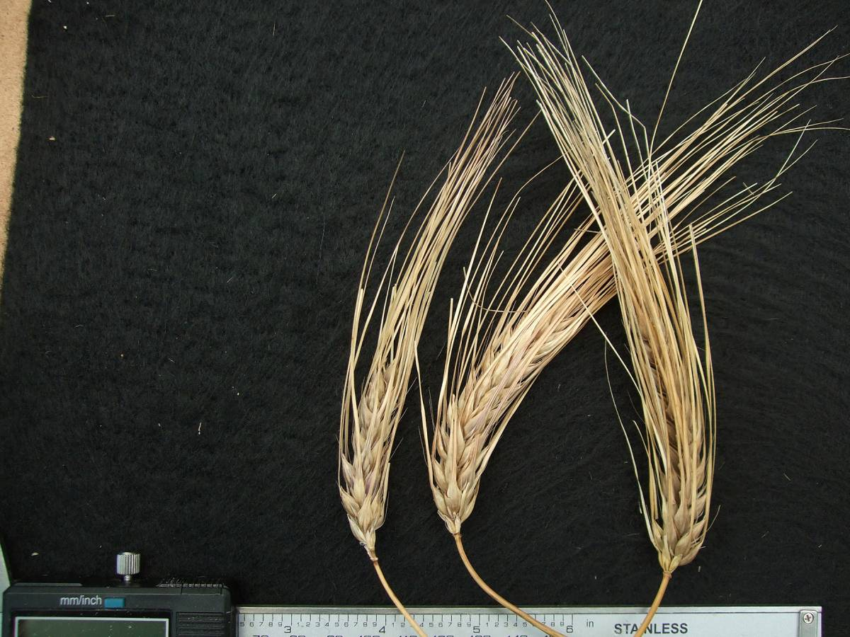 'Blue Naked', DE 4769, naked barley 2011 - 6:09pm&nbsp;25<sup>th</sup>&nbsp;Sep.&nbsp;'11
