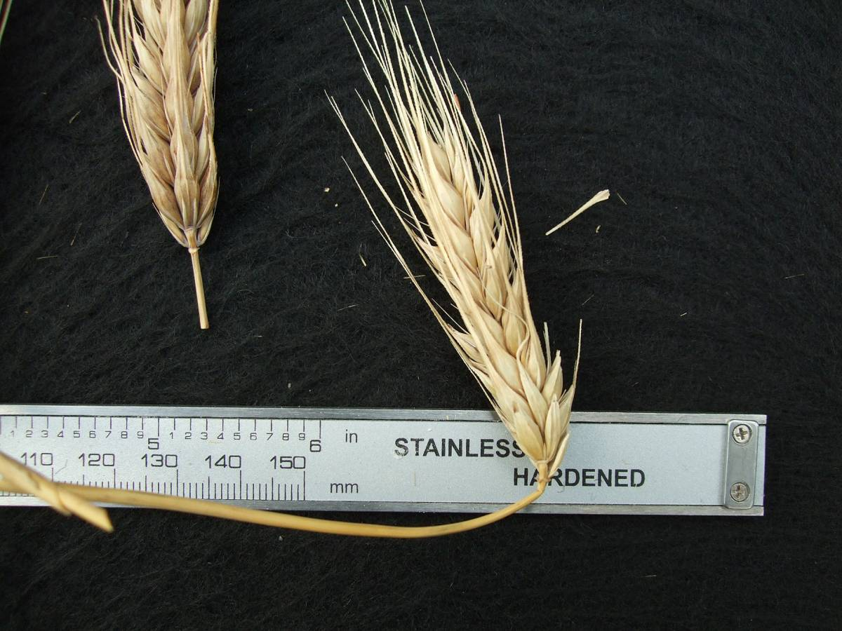 'Italian Naked', DE 18429, naked barley 2011 - 6:12pm&nbsp;25<sup>th</sup>&nbsp;Sep.&nbsp;'11