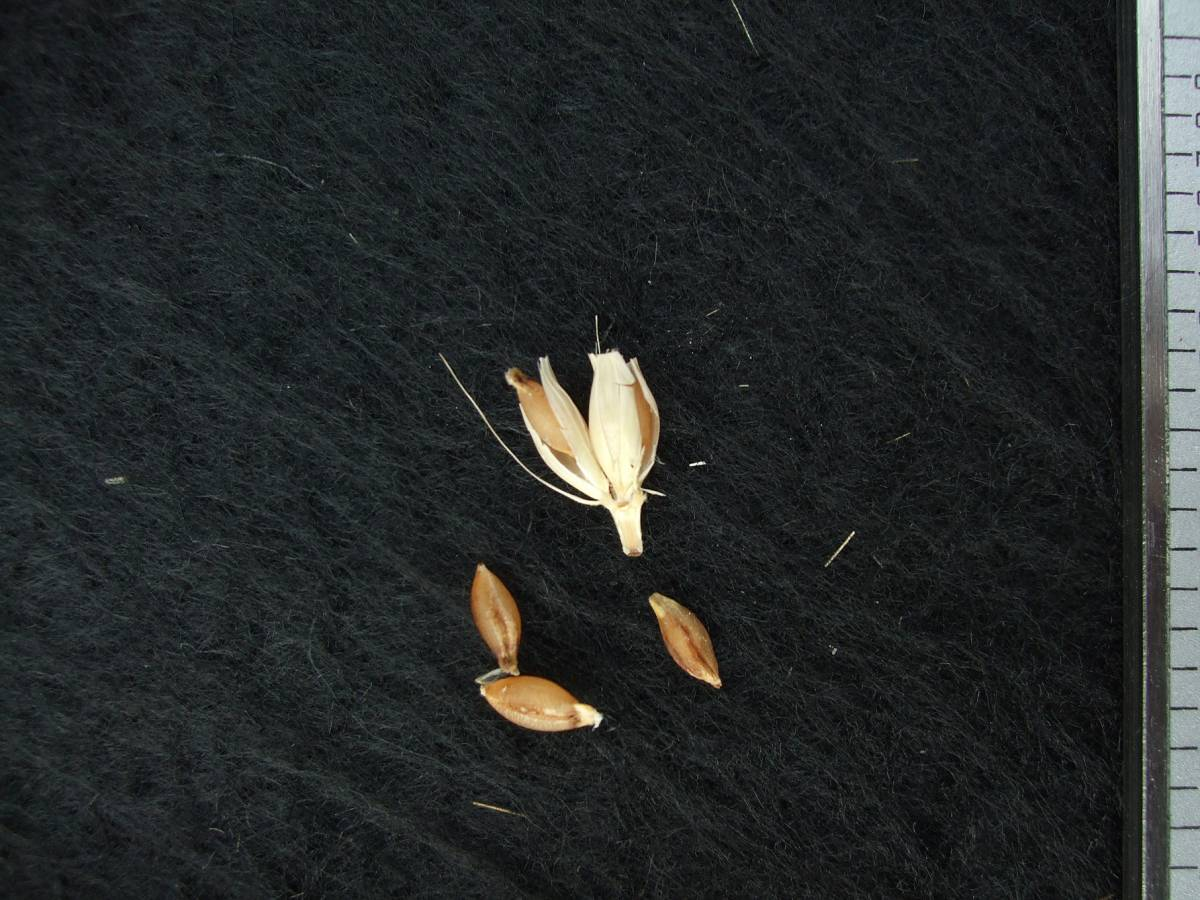 'Nudo Bianca (gen. Mariotti)', DE 140 naked barley 2011 - 5:15pm&nbsp;25<sup>th</sup>&nbsp;Sep.&nbsp;'11
