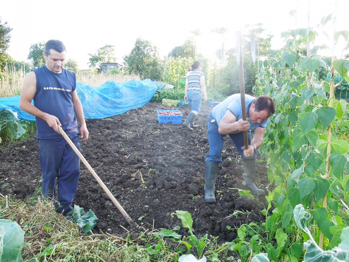 potato harvest '16 plot 36 - 7:29pm&nbsp;6<sup>th</sup>&nbsp;Aug.&nbsp;'16