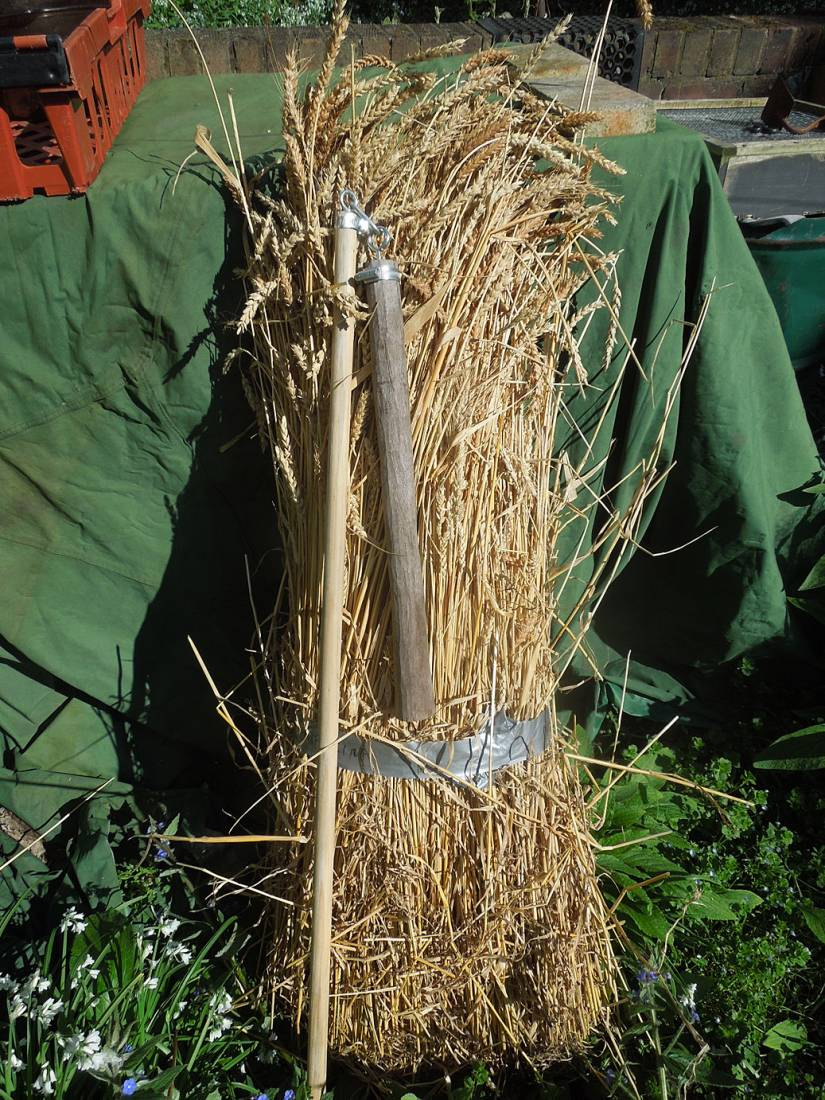 threshing with flail of Madeira wheat - BEORE with new flail - 4:05pm&nbsp;17<sup>th</sup>&nbsp;Apr.&nbsp;'16