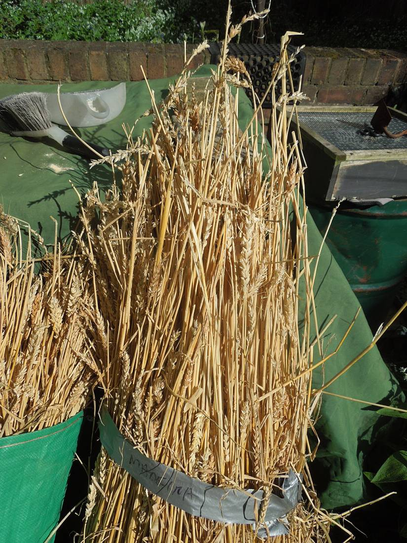 threshing with flail of Madeira wheat - AFTER - 4:18pm&nbsp;17<sup>th</sup>&nbsp;Apr.&nbsp;'16