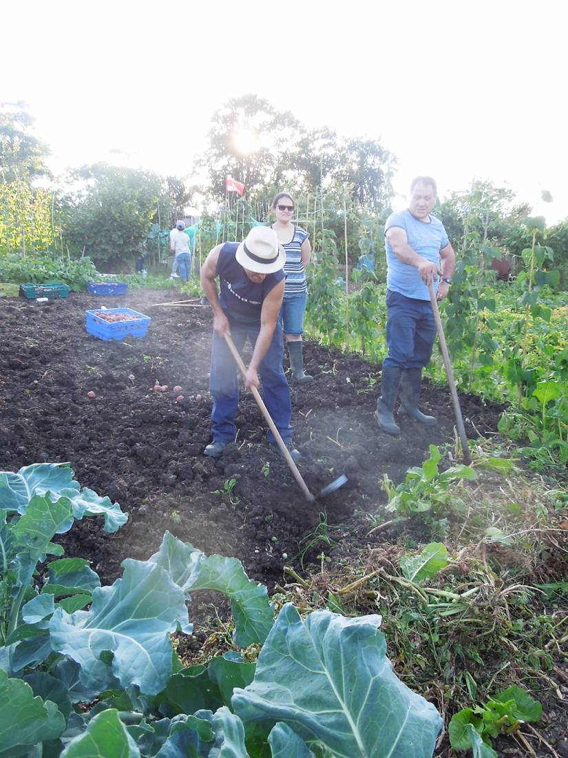 potato harvest '16 plot 36 - 7:22pm&nbsp;6<sup>th</sup>&nbsp;Aug.&nbsp;'16