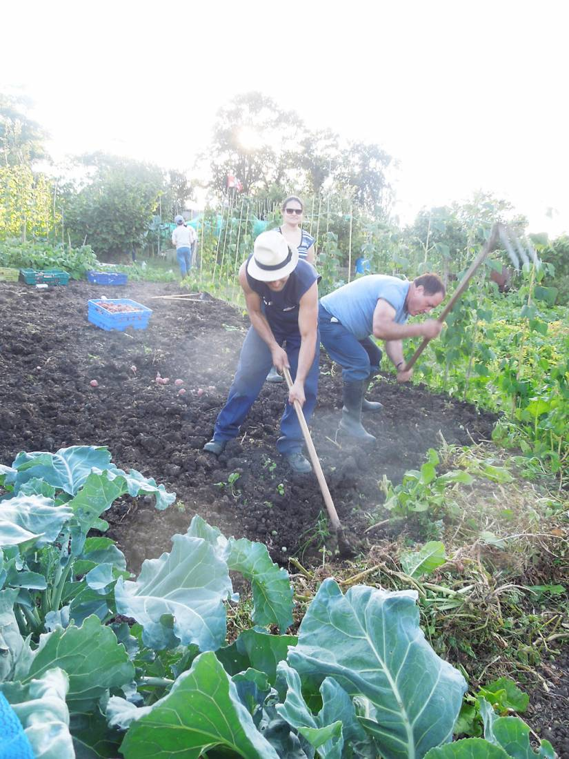 potato harvest '16 plot 36 - 7:23pm&nbsp;6<sup>th</sup>&nbsp;Aug.&nbsp;'16