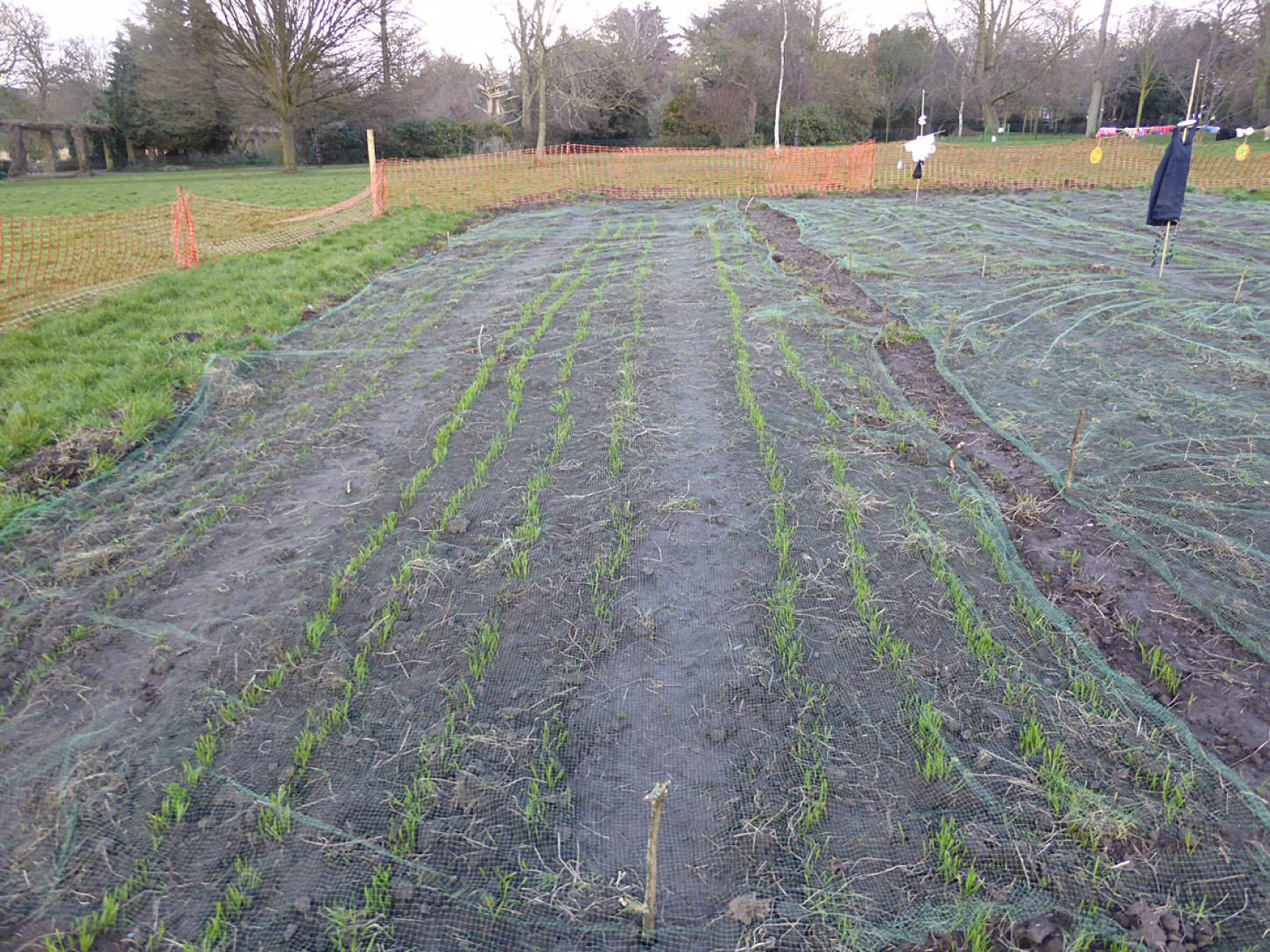 winter wheat up nicely with lovely scarey scare crows from local school - 5:32pm&nbsp;16<sup>th</sup>&nbsp;Mar.&nbsp;'18  <a href='http://maps.google.com/?t=h&q=51.465475,-0.092353&z=18&output=embed' target=_blank><img src='http://www.brockwell-bake.org.uk/img/marker.png' style='border:none;vertical-align:top' height=16px></a>