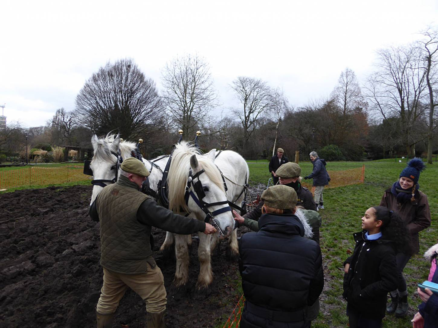 Shire horses, Heath and Nobby with ploughman Tom Nixon from <a href='http://www.operationcentaur.com/' target='_blank'>Operation Centaur</a> come to plough the <a href='https://twitter.com/ruskinparkse5?lang=en' target='_blank'>Ruskin Park</a> wheat patch - 3:01pm&nbsp;9<sup>th</sup>&nbsp;Feb.&nbsp;'18  <a href='http://maps.google.com/?t=h&q=51.464825,-0.092586&z=18&output=embed' target=_blank><img src='http://www.brockwell-bake.org.uk/img/marker.png' style='border:none;vertical-align:top' height=16px></a>