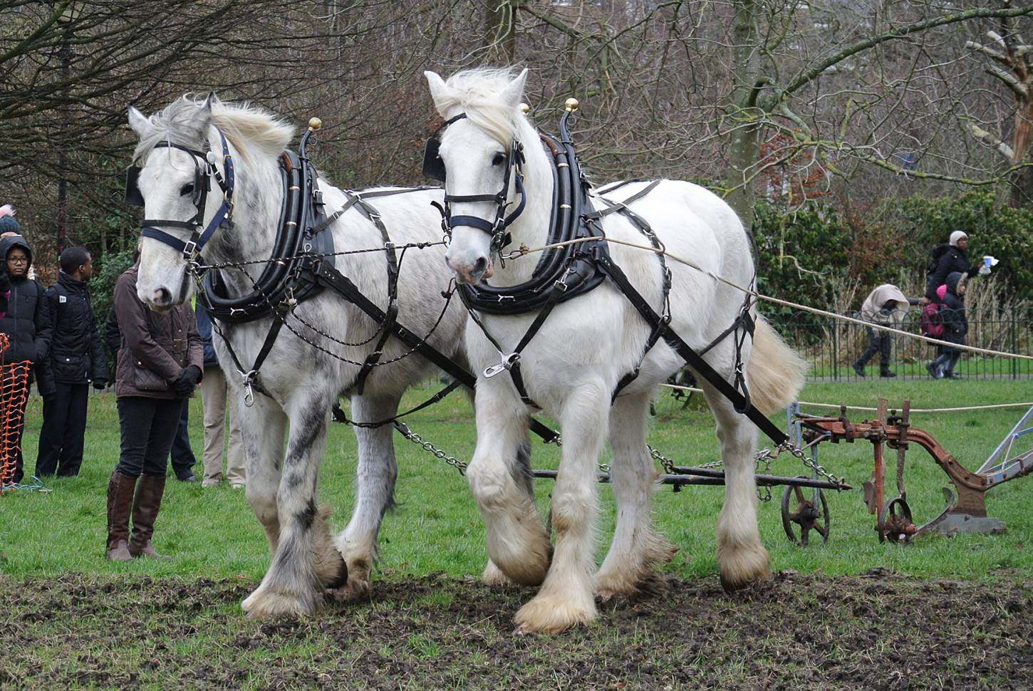 Shire horses, Heath and Nobby with ploughman Tom Nixon from <a href='http://www.operationcentaur.com/' target='_blank'>Operation Centaur</a> come to plough the <a href='https://twitter.com/ruskinparkse5?lang=en' target='_blank'>Ruskin Park</a> wheat patch. Image: Marie Cullen - 12:11pm&nbsp;9<sup>th</sup>&nbsp;Feb.&nbsp;'18