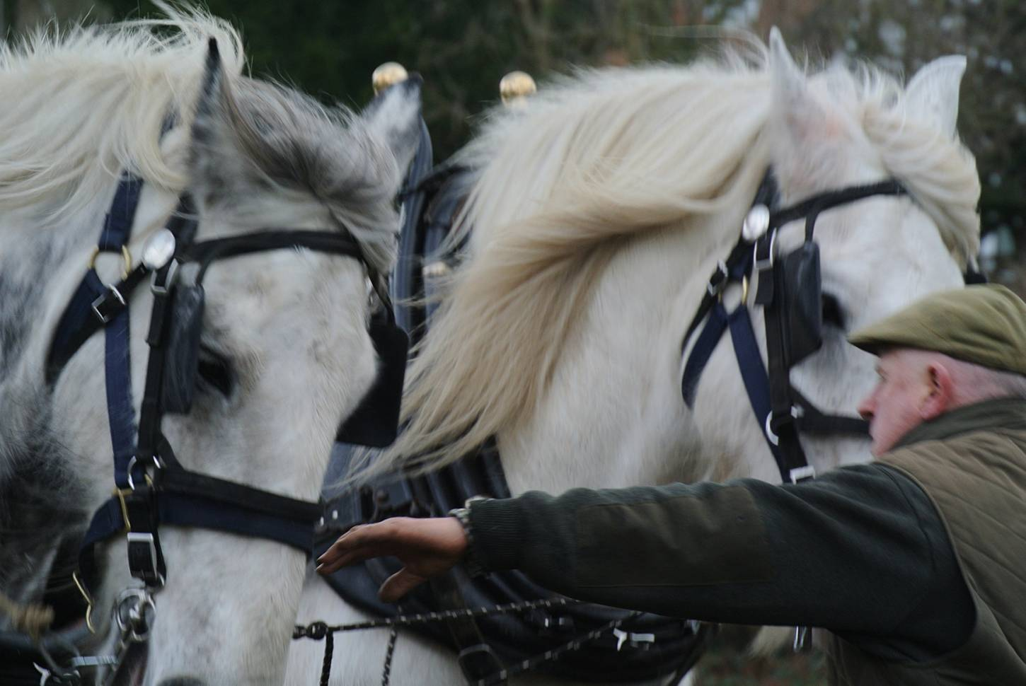 Shire horses, Heath and Nobby with ploughman Tom Nixon from <a href='http://www.operationcentaur.com/' target='_blank'>Operation Centaur</a> come to plough the <a href='https://twitter.com/ruskinparkse5?lang=en' target='_blank'>Ruskin Park</a> wheat patch. Image: Marie Cullen - 12:24pm&nbsp;9<sup>th</sup>&nbsp;Feb.&nbsp;'18