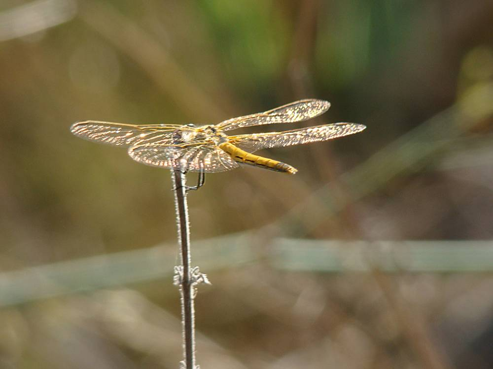 Dragonfly pic by Adrian