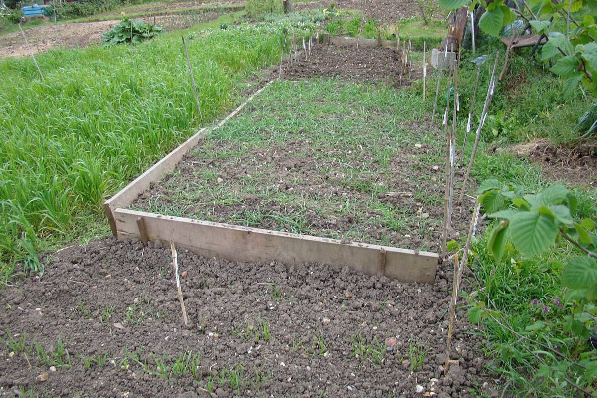 rye in front, Dutch accessions in raised bed, naked barleys freshly sown behind 14/4/11