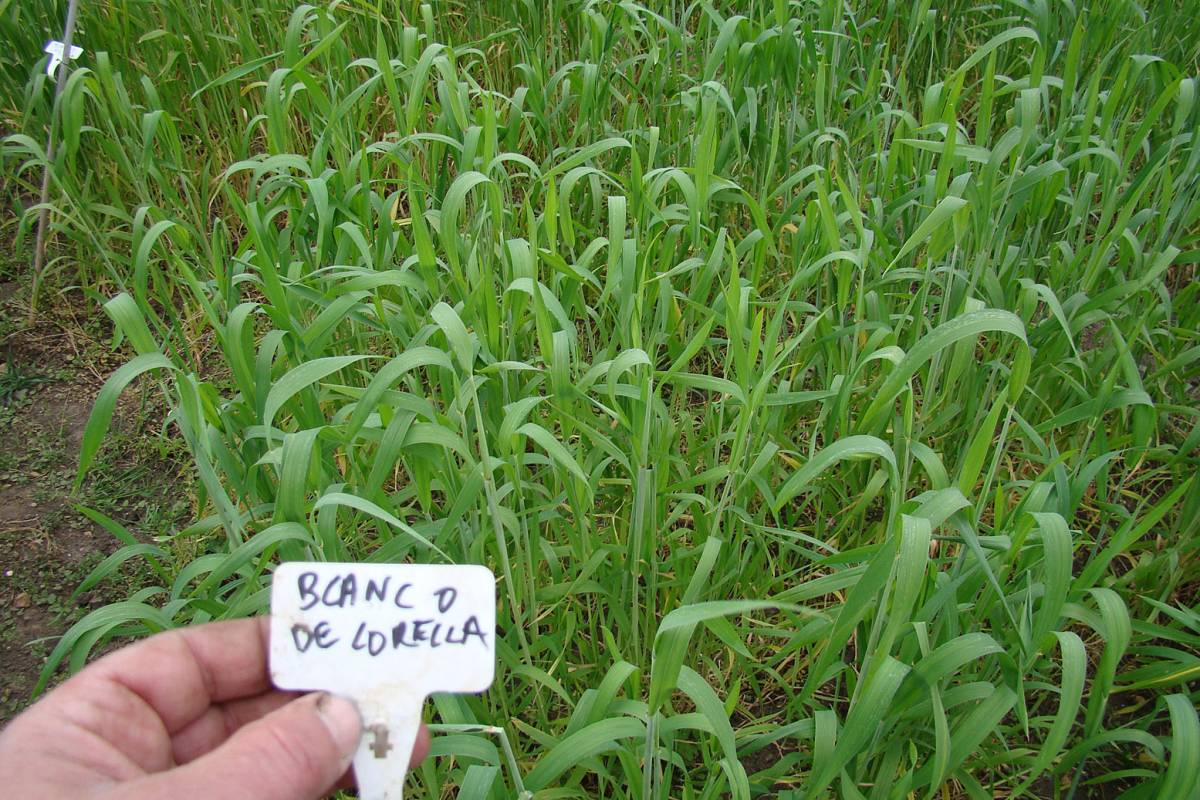 Blanco de Corella, crop review 15/5/11