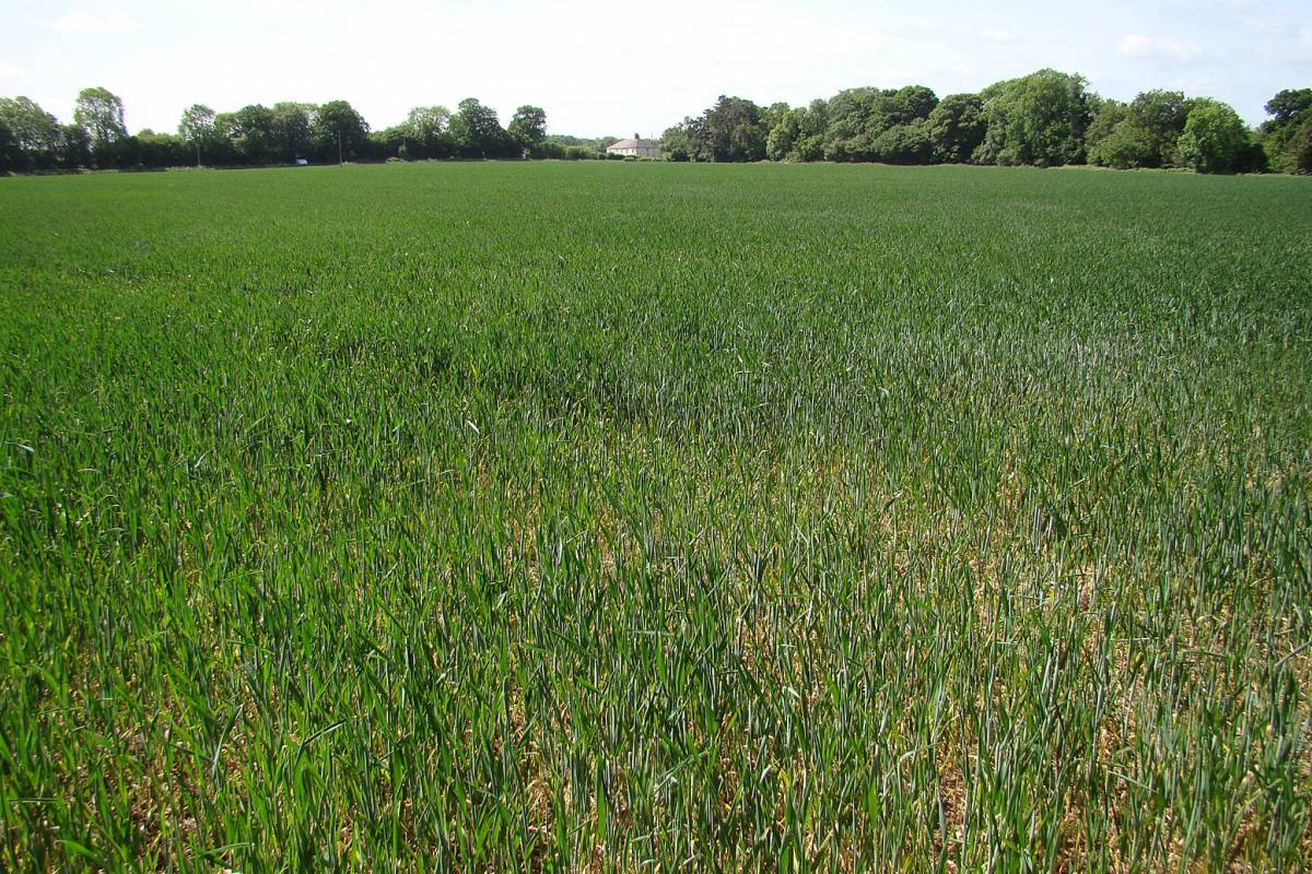 conventional spring wheat crop, Addington, 24/5/11