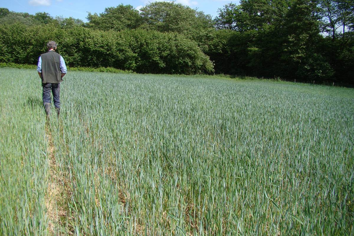 Magister crop review, showing dark green corner, Hophurst Farm, 24/5/11