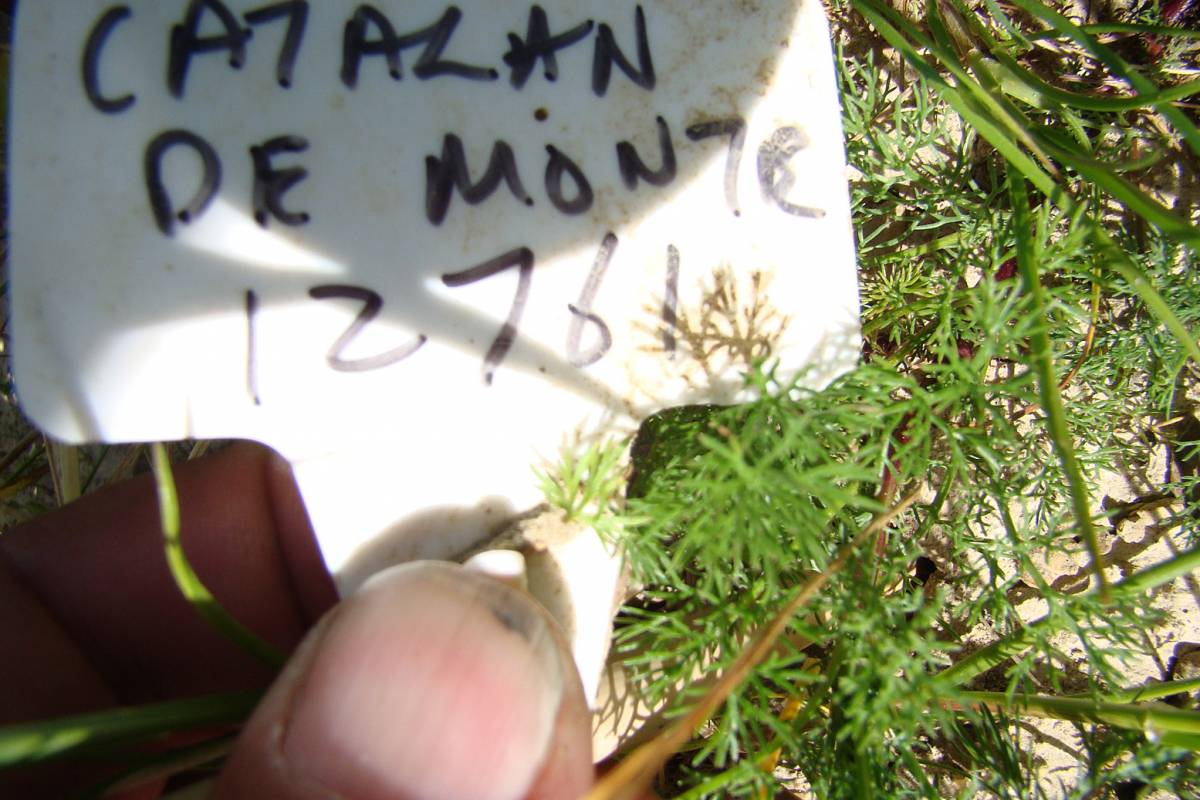 'Catalan de Monte 12761' crop review Hophurst Farm, 24/5/11