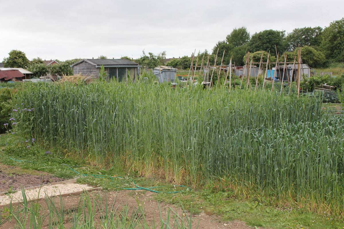 looking great! BBA Latino mix on left, modern Paragon on right, crop review, Stephen Simpson's allotment, Gloucester, 29/5/11