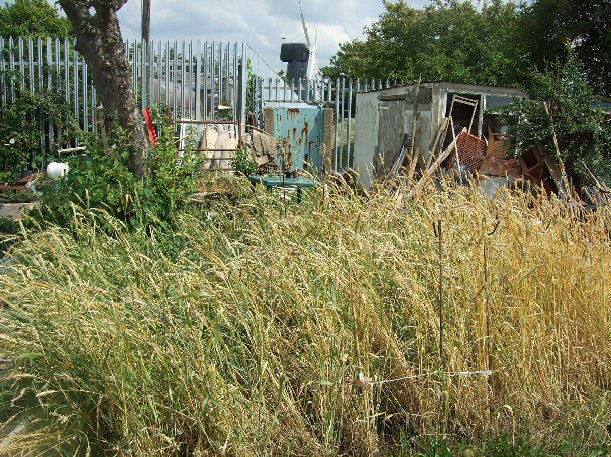 nice patch of winter mix on Windmill Allotments - review 12/7/11