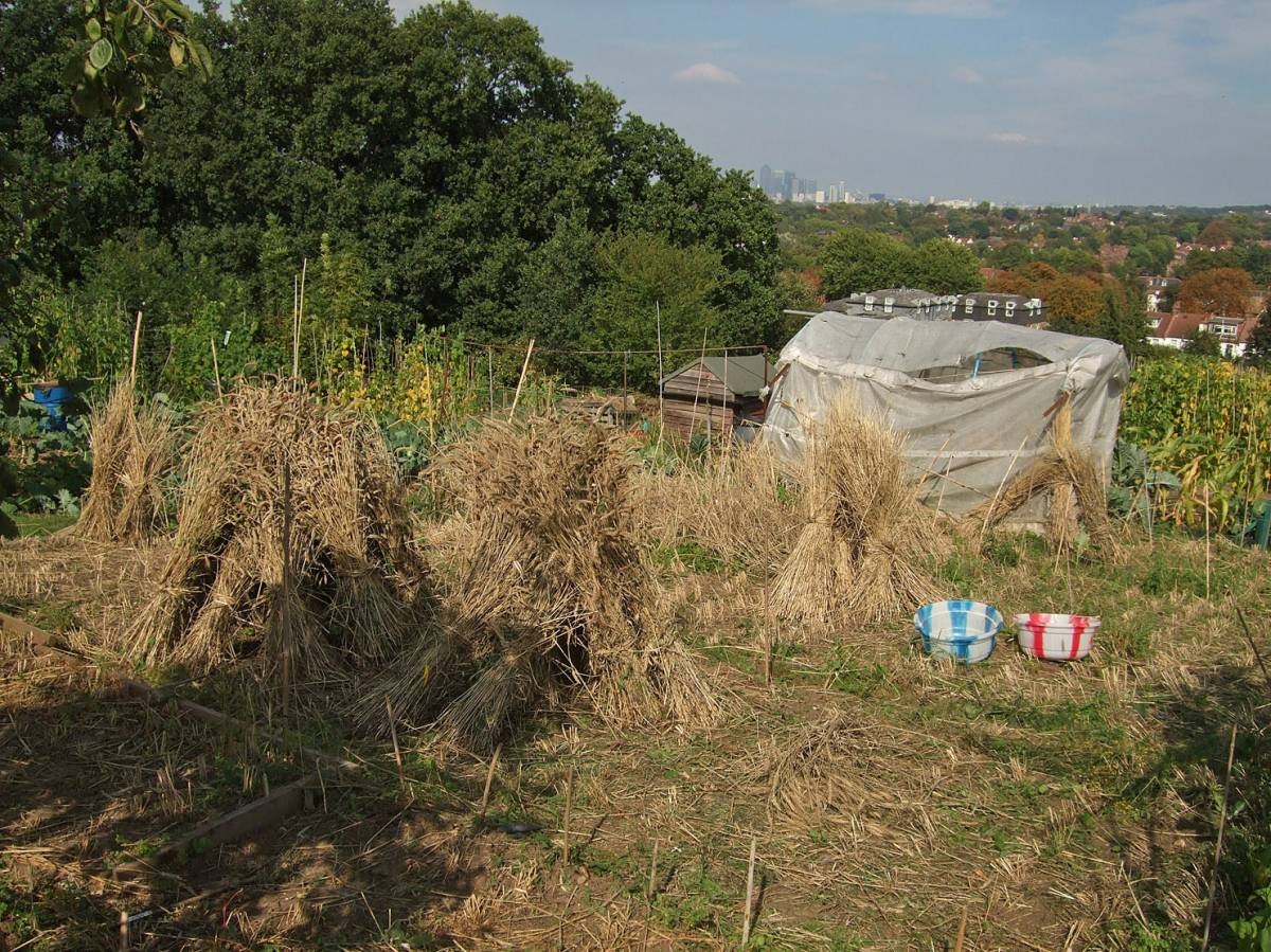 final harvest on allotments, winter mix, 3/9/11