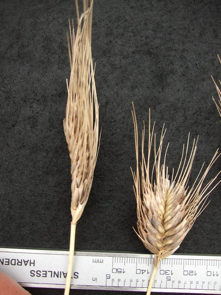 Georgian mutuant, Triticum Militinae - 6:32pm&nbsp;29<sup>th</sup>&nbsp;Aug.&nbsp;'11