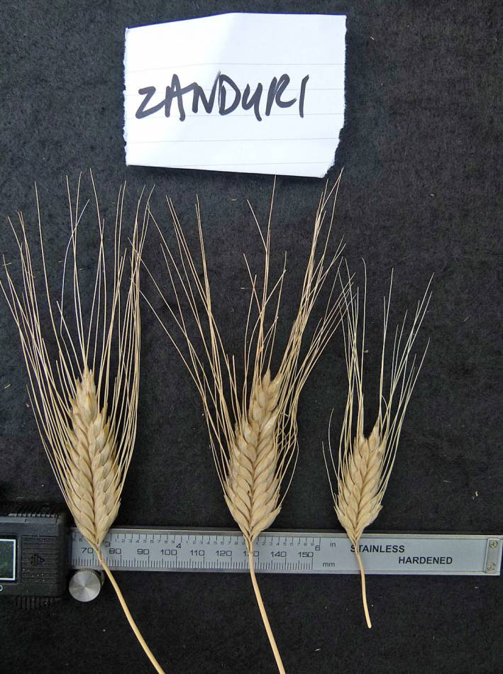 Georgian 'Zanduri' which should be a mix but here is Triticum timopheevii - 12:23pm&nbsp;31<sup>st</sup>&nbsp;Aug.&nbsp;'10