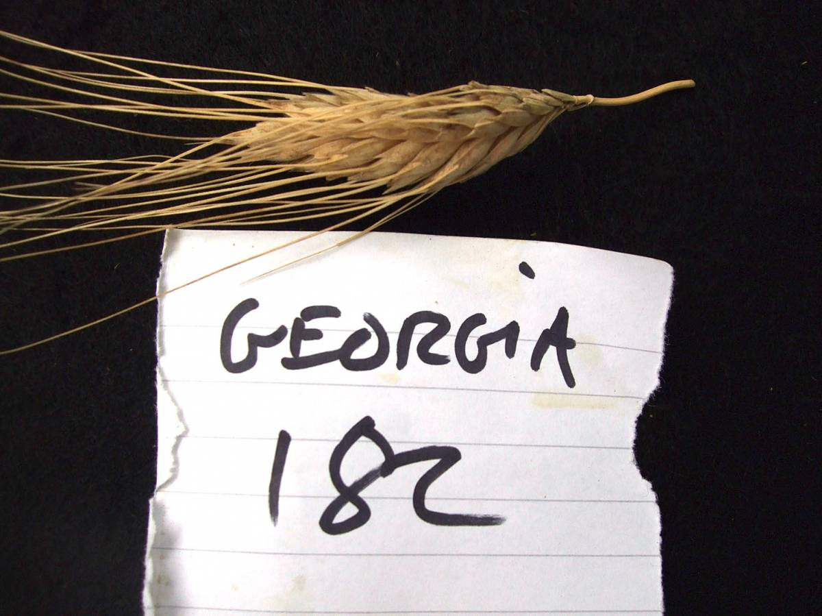 wheat identification images for <a href='http://www.wheat-gateway.org.uk/search.php?send=1&ID=109473&genes=1&bunt_a=1' target='_blank'>Georgia UK 1182</a>      - 5:25pm&nbsp;30<sup>th</sup>&nbsp;Aug.&nbsp;'11