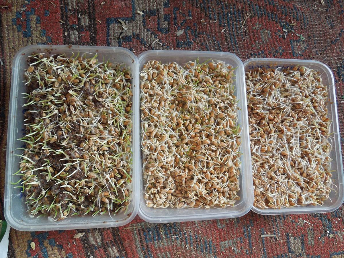 l-r with bio-bran, without, with fresh bran, 2nd bio-bran sprouting test - started 14/11/12 - 12:33pm&nbsp;18<sup>th</sup>&nbsp;Nov.&nbsp;'12