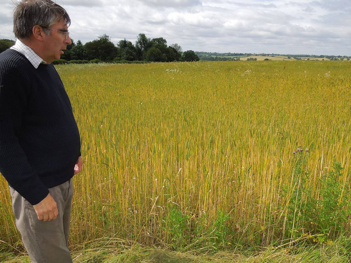 Farmer Howard Roberts in his nice field of spelt - Hammonds End Farm, Harpenden - 10:57am&nbsp;17<sup>th</sup>&nbsp;Jul.&nbsp;'12
