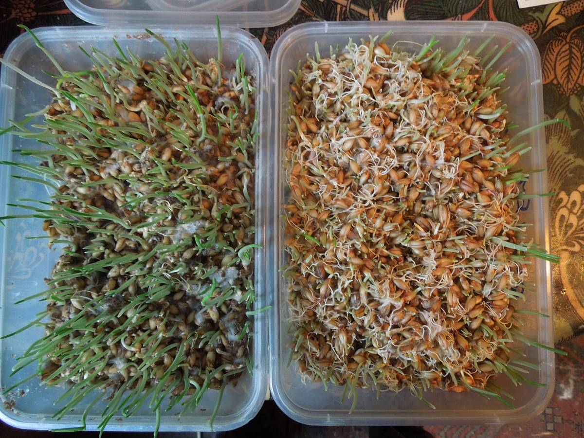 bio-bran sprouting trial - 1:36pm&nbsp;26<sup>th</sup>&nbsp;Oct.&nbsp;'12