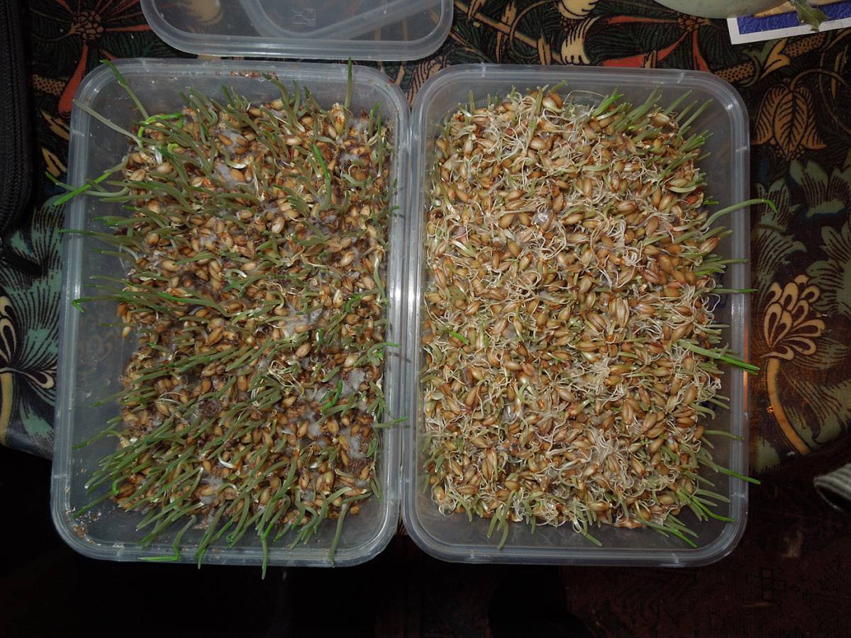bio-bran sprouting trial - 1:37pm&nbsp;26<sup>th</sup>&nbsp;Oct.&nbsp;'12