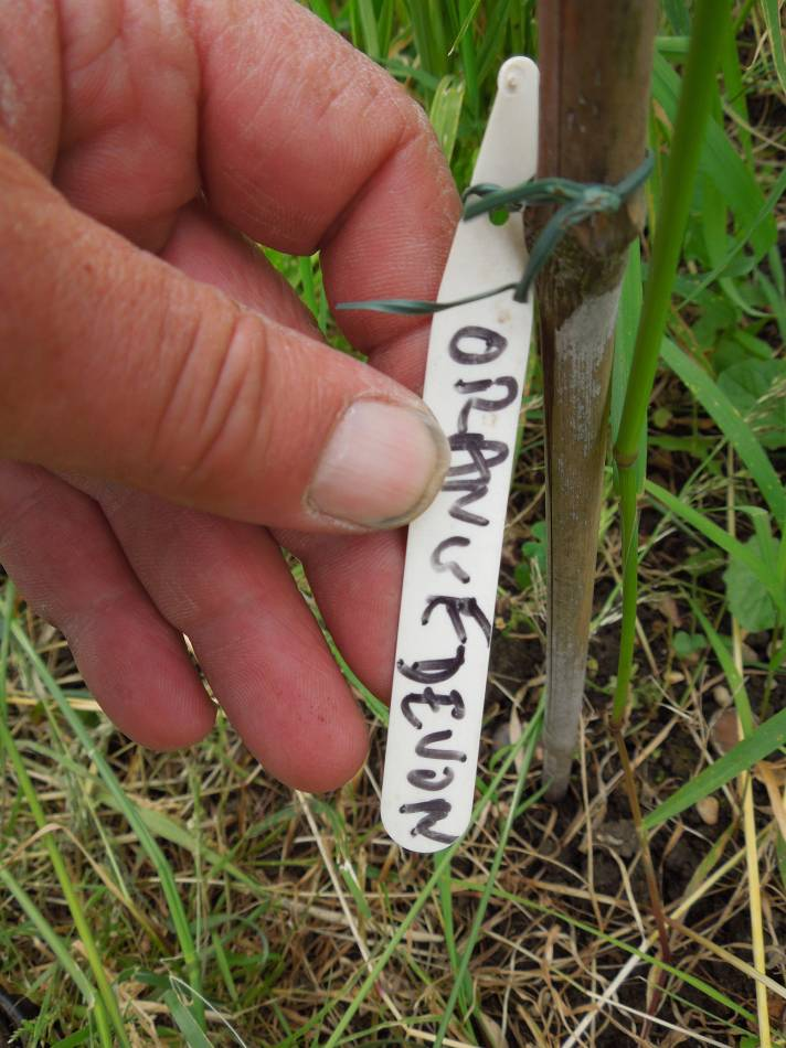 third sowing Orange Devon Blue Chaff, plot 35 & 36 review, June 2012 - 4:53pm&nbsp;6<sup>th</sup>&nbsp;Jun.&nbsp;'12