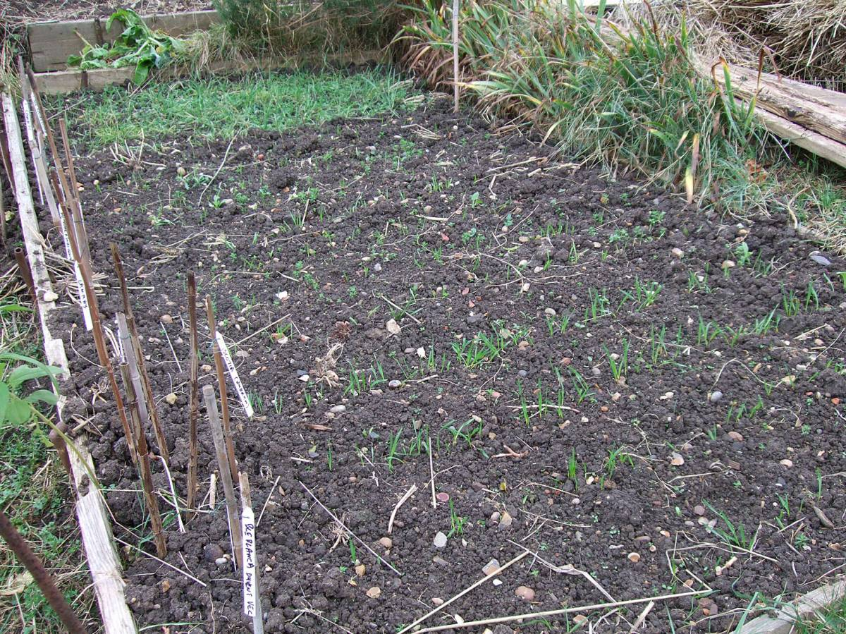 sowing on allotment 30/10/11
