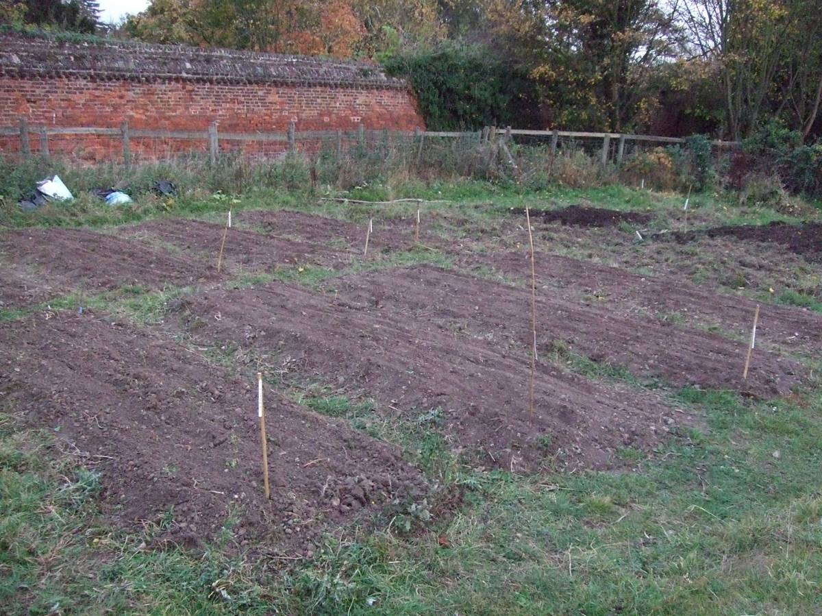 sowing on Forty Hall Farm, Enfield, raised beds behind walled garden, 31/10/11