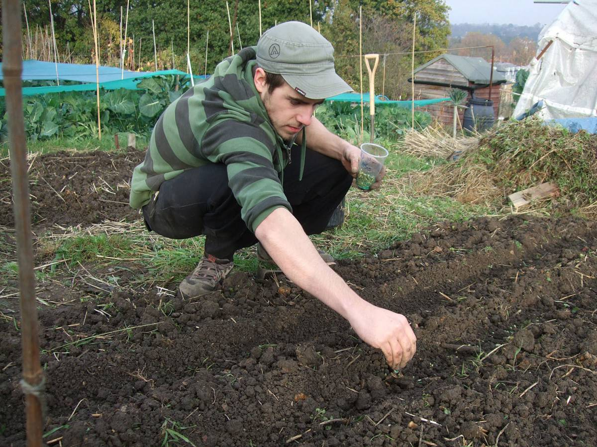 sowing allotment with Vincent, 16/11/11